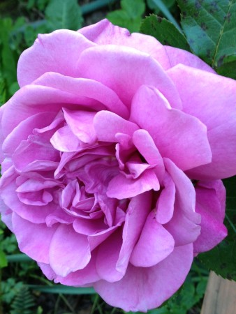 The Purple Rose of Portland